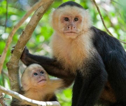 Costa-Rica-Monkeys-Cariblancos