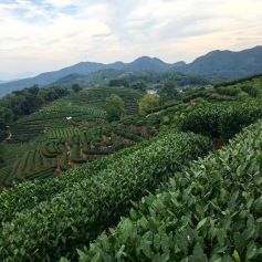 Imperial tea farm